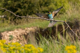 Bee-eaters, Bee-eater photography, © Sergey Panayotov
