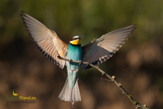 Bee-eater photography, © Sergey Panayotov