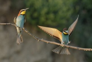 Bee-eaters / © Sabine Schroll