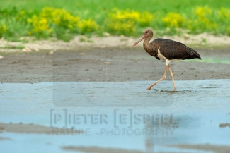 Black Stork Hide photography