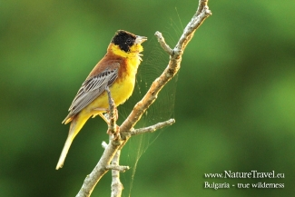 Black-headed Bunting photography in Bulgaria, © Iordan Hristov, Photo Tower hide