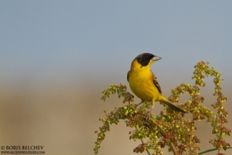 Black-headed Bunting  photography, Author: Boris Belchev © 2012, 3D Photo camouflage poncho
