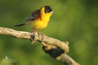 Black-headed bunting photography, Photo Tower hide