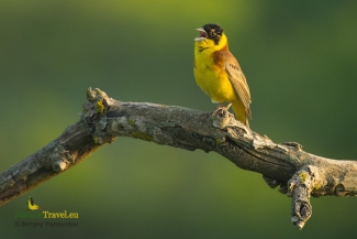 Shrikes & Buntings, Black headed bunting photography, © Sergey Panayotov