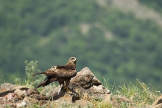 Black kite photography, Vulture hide - Eastern rodopi mountain