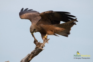 Black kite photography (c) Sergey Panayotov, Vulture hide - Eastern rodopi mountain