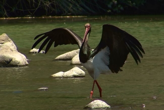 Other Birds, Black Stork
