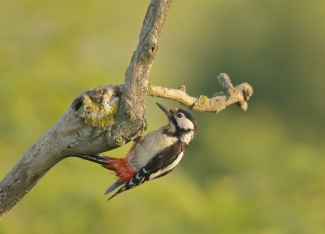 Great-spotted woodpecker / © Sabine Schroll, Photo Tower hide