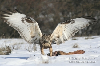 Other Birds, Rough-legged Buzzard photography