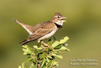 Calandra Lark Hide photography