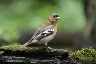 Chaffinch Hide photography