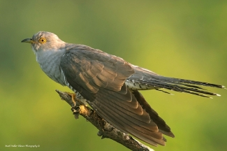 Cuckoo from photo tower hide / © Mark Walker , Photo Tower hide