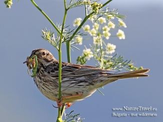 Corn Bunting  photography in Bulgaria, Author: Iordan Hristov © 2012