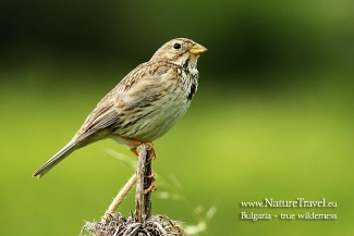 Shrikes & Buntings, Corn Bunting  photography in Bulgaria, Author: Iordan Hristov © 2012