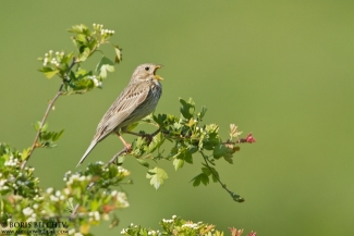 Shrikes & Buntings, Corn Bunting photography, Author: Boris Belchev © 2012
