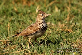 Crest lark photography in Bulgaria, Author: Iordan Hristov © 2012