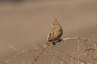 Crested Lark photography, Author: Iordan Hristov  © 2012, 3D Photo camouflage poncho
