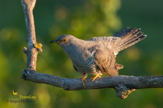 Cuckoo photography, © Sergey Panayotov, Photo Tower hide
