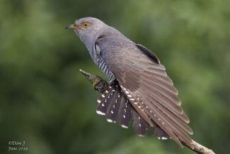 Other Birds, Cuckoo, David Jackson
