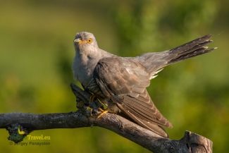 Other Birds, Cuckoo photography, © Sergey Panayotov
