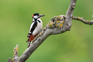 Great-spotted woodpecker, © Piotr Welcz, Photo Tower hide