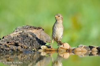 House Sparrow Hide photography