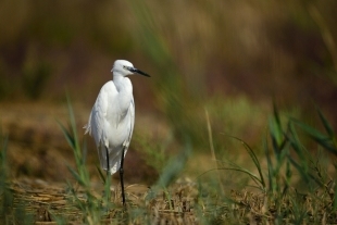 Great White Egret Hide photography