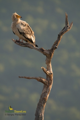 Egyptian vulture photography (c) Sergey Panayotov