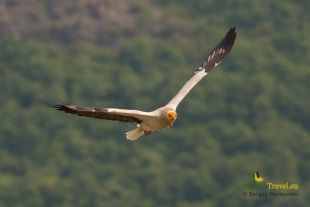 Egyptian Vulture Hide photography