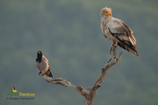 Egyptian vulture photography (c) Sergey Panayotov, Vulture hide - Eastern rodopi mountain