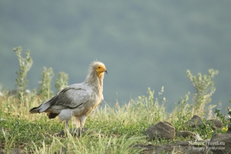 Egyptian vulture photography, Vulture hide - Eastern rodopi mountain