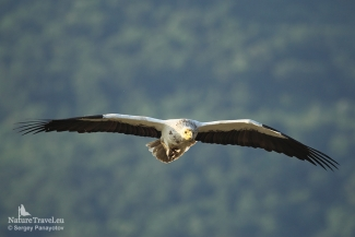 Flying Egyptian vulture, Vulture hide - Eastern rodopi mountain