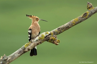© Mark Walker / England, Hoopoe  / © Mark Walker