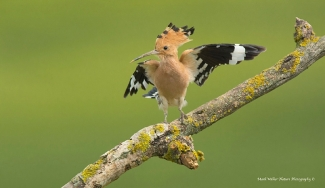 Hoopoe / © Mark Walker, Mobile hides