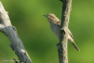 Wryneck / © Mark Walker, Photo Tower hide