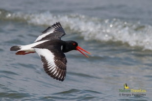 Oystercatcher Hide photography