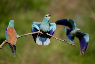 European roller photography / © Adam Jankowski, Roller hide