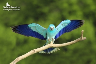 European roller photography, Roller hide