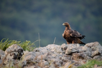 Golden Eagle © Frank Schulkes, Vulture hide - Eastern rodopi mountain