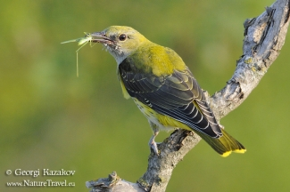 Golden oriole photography, Photo Tower hide
