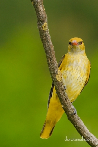 Golden oriole from photo tower, Photo Tower hide