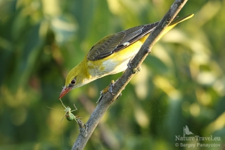 Golden oriole with Grassshooper, Photo Tower hide
