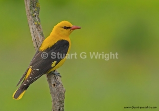 Golden oriole / © Stuart Wright, Photo Tower hide
