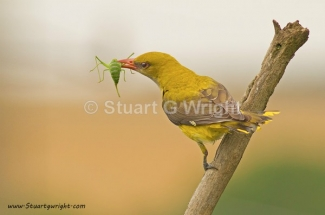 Golden oriole, Golden oriole / © Stuart Wright