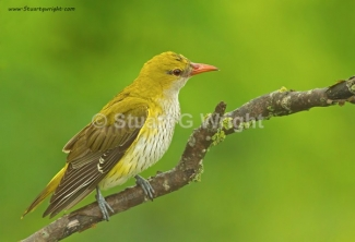 © Stuart Wright / England, Golden oriole / © Stuart Wright