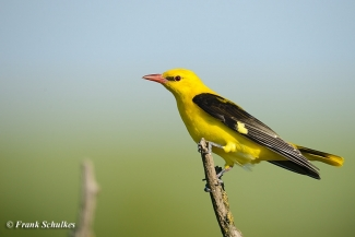 Golden oriole photography © Frank Schulkes, Photo Tower hide