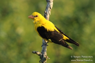 Golden oriole / © Sergey Panayotov, Photo Tower hide