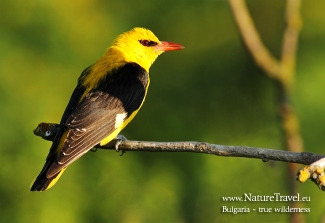 Golden Oriole  photography in Bulgaria, © Iordan Hristov, Photo Tower hide