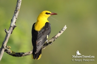 Golden oriole photography, © Sergey Panayotov