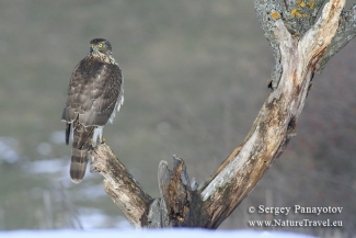 Other Birds, Goshawk photogrpahy